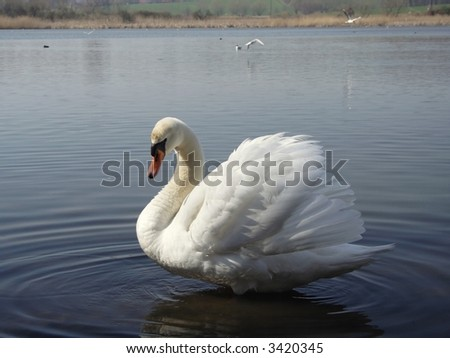 impending ( warning) swan - stock photo