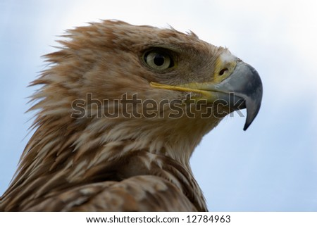 Imperial Eagle (Aquila Heliaca) close up portrait
