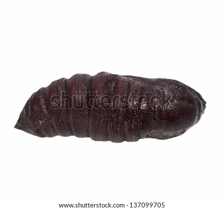 Imperial Pine Moth Chrysalis larva (Eacles imperialis), chrysalis isolated on white background - stock photo