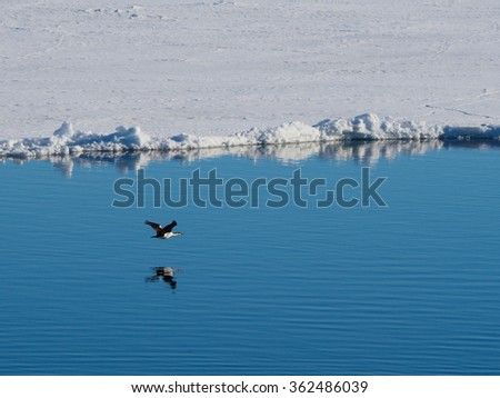 Imperial shag flying over Ice Floe in Antarctica - stock photo
