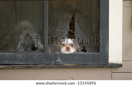 Imperial (Toy) Shih Tzu puppy lies patiently awaiting the right time to break through the screen door he chewed up in planning his escape! - stock photo
