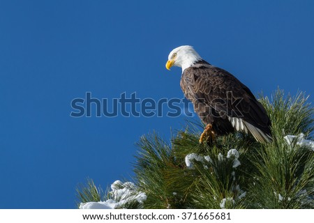 imposing Bald Eagle perched on a tree branch mid winter in Coeur d' Alene, Idaho - stock photo