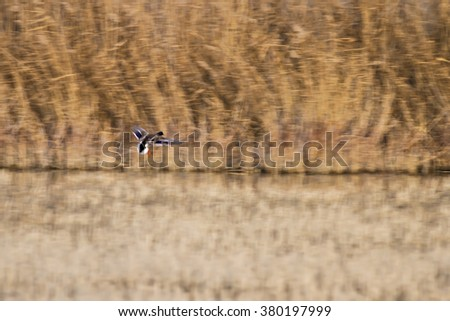 impressionism and birds  yellow reeds background  Mallard / Anas platyrhynchos - stock photo