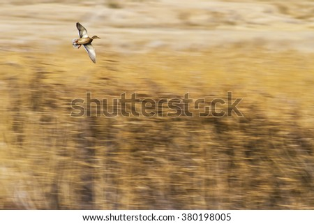 impressionism and birds   yellow reeds background Mallard / Anas platyrhynchos - stock photo