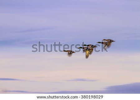 impressionism  flying ducks   purple background Mallard / Anas platyrhynchos - stock photo