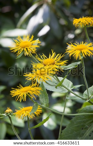 impressions from a garden in Brandenburg, Germany. yellow flowers of  the heartleaf oxeye (Telekia speciosa)