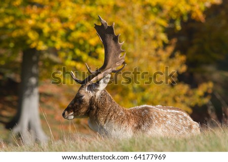 Impressive male fallow deer with antlers - stock photo