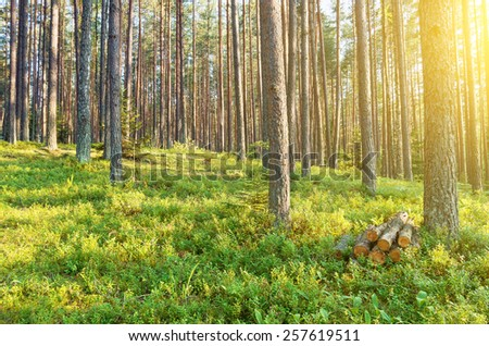 In a beautiful coniferous forest. - stock photo