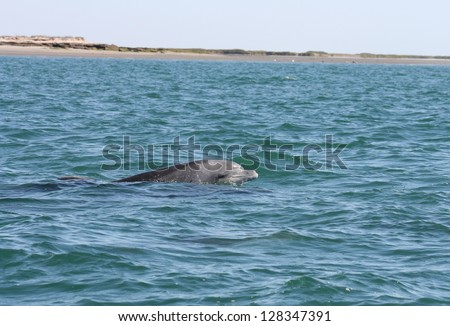 In a sanctuary lagoon in Baja, Mexico a bottlenose dolphiin breaks the waters surface - stock photo