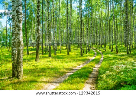 in birch forest - stock photo