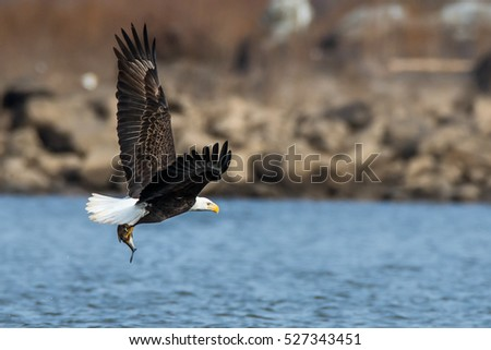 In Flight - American Bald Eagle