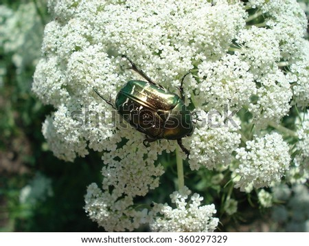 In flower , the  beetle  - stock photo
