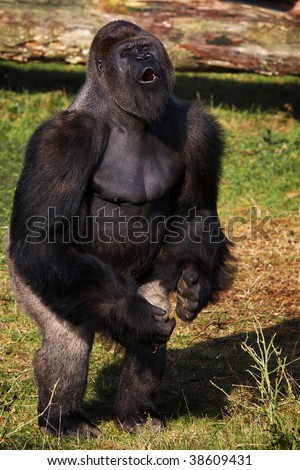 Gorilla standing up - photo#28