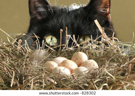 In Harm's Way: A black cat creeps ever closer to a nest full of eggs. Conceptual image representing danger, risk, threat, etc. in business and personal finances, etc.