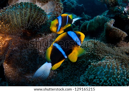 In Palau, Orangefin anemonefish (Amphiprion chrysopterus) snuggle into their host anemone's tentacles.  This is a good example of a mutualistic symbiosis. - stock photo