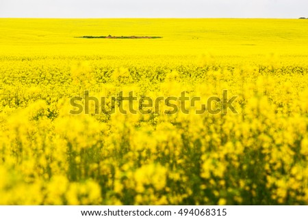 in south africa close up of the colza yellow field like  texture background