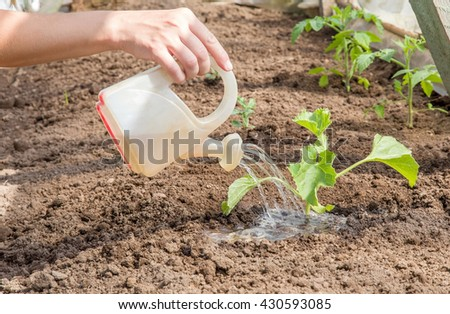 In spring hand watering melon plant with little watering can in the greenhouse. - stock photo
