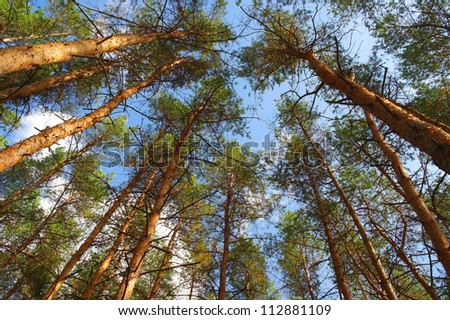 In summer forest with pines, view from below