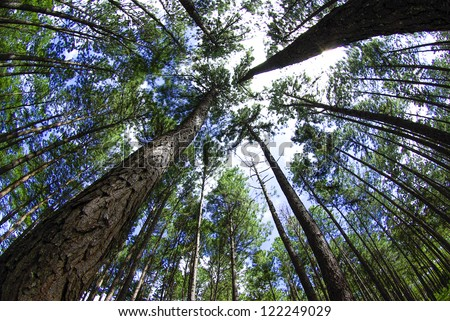 In summer forest with pines, view from below - stock photo