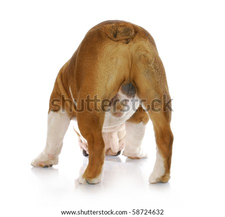 in tact male english bulldog standing with backside to viewer with reflection on white background - stock photo