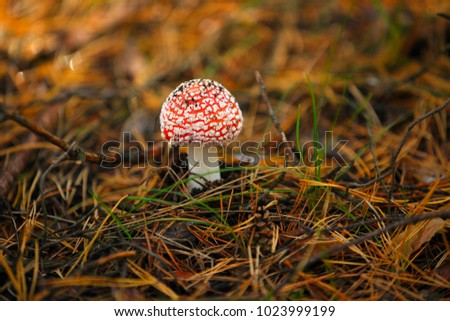 in the coniferous forest grows a beautiful red-white and poisonous amanita