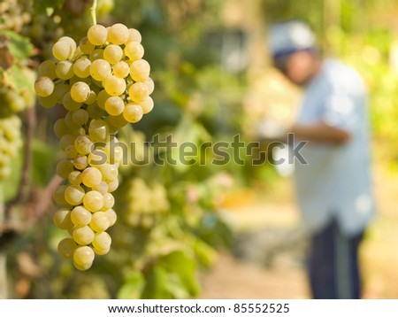 in the foreground a bunch of white grapes, background man who harvest - stock photo