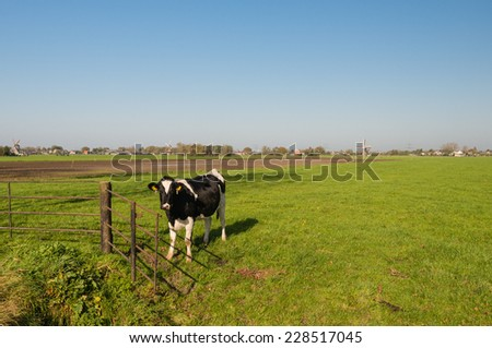 In the foreground one black and white cow and in the background of the Dutch polder landscape the edeg of a village with three historic windmiils. - stock photo
