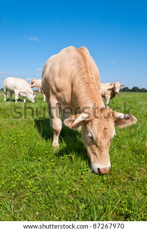 In the foreground one light brown cow is grazing while other cows are looking curiously in the background - stock photo