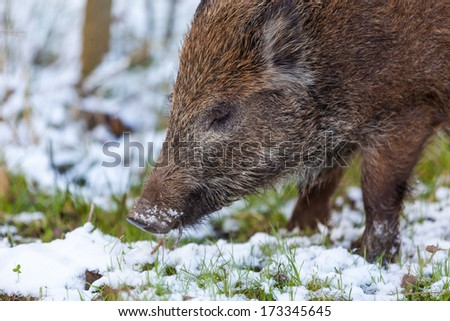 In the forest there lives wild boar, he is sleeping