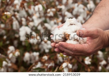 In the hands of the cotton grower harvested cotton - stock photo