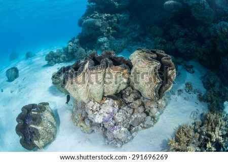 In the lagoon of Aitutaki, Cook Islands, giant clams (Tridacna gigas) grow near a coral bommie. This is the largest species of bivalve in the world. It is also endangered. - stock photo
