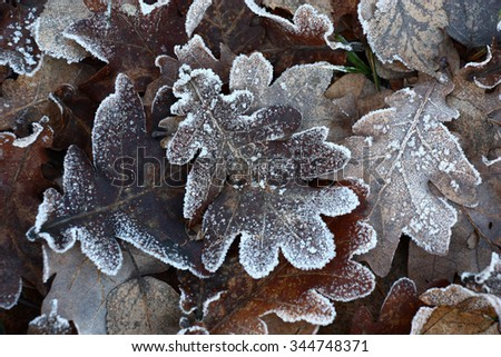 In the late autumn the fallen down leaves of an oak lie a dense carpet with hoarfrost touch.