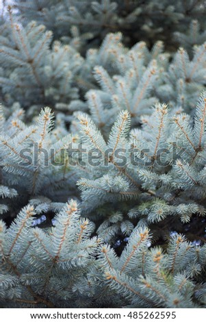 In the pines. Nature background. Beautiful fir