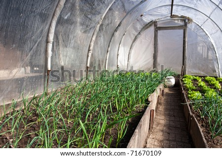 In the real greeenhouse. Lettuce and onion visible. Artistic selective focus. - stock photo