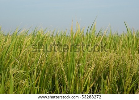 In the rice field in Thailand. - stock photo