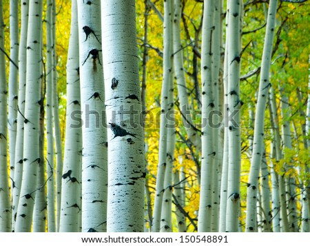 In the san juan range of the Colorado Rocky Mountains, autumn turns aspen trees a golden yellow that contrasts their white trunks. - stock photo