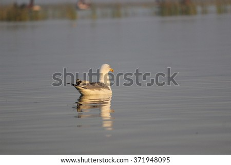 In the serene waters of Nalsarovar bird sanctuary,, Gujarat, India
