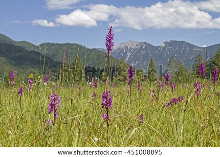In the spring can be seen in Ettal Weidmoos a variety of gorgeous flowers, including many orchids  - stock photo