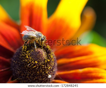 In the summer time a honey bee collecting nectar on a yellow rudbeckia or Black Eyed Susan flower, macro, selective focus - stock photo