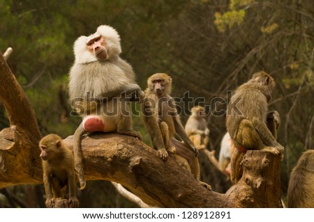 In this family of monkeys we can see well who is the boss