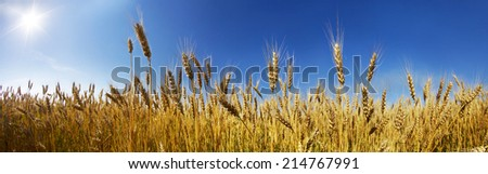 In Ukraine, the wheat polarization is a symbol against the clear sky, they have a color of the national flag. Our coun- one of largest grain exporters in the world. Produce bread- respected profession - stock photo