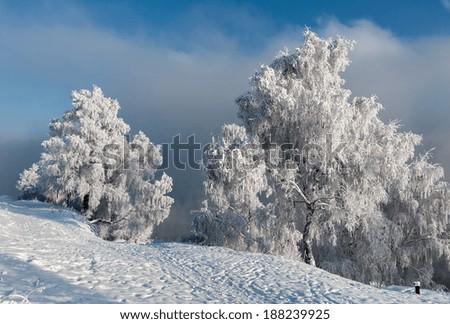 In winter attire Birch tree at the river Angara  - stock photo