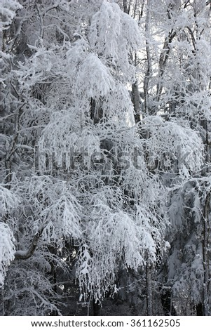 In wood of a branch of a birch are plentifully covered by fresh snow. - stock photo