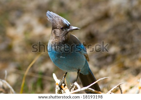In Yosemite Valley as many as 135 species of birds live or visti for part of the year, and the Steller's Jays is the noisy blue bird with the dark head and crest which can be seen all over the Valley - stock photo
