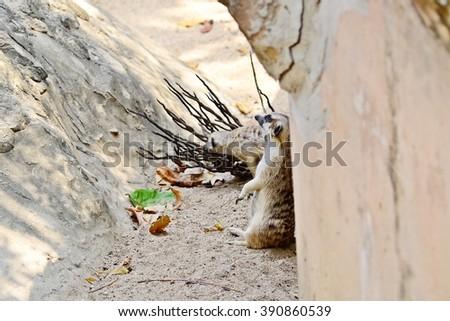 inattentive meerkat, suricate, desert wildlife, curios animal - stock photo