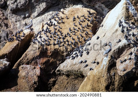 Inca Tern colony, the Ballestas Islands, Peru - stock photo