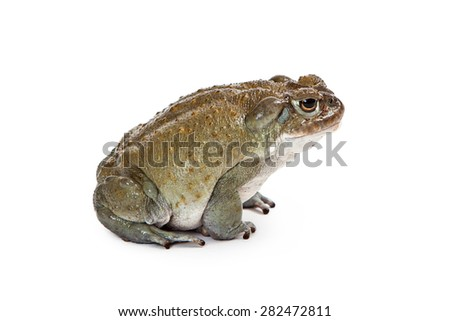 Incilius alvarius, also known as Colorado River Toad or Sonoran Desert Toad which has a venom that produces a a psychoactive hallucinogenic effect. Profile View. Isolated on white.  - stock photo