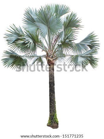 including Asian Palmyra palm, Toddy palm, Sugar palm, or Cambodian palm, tropical tree in the northeast of Thailand isolated on white background - stock photo