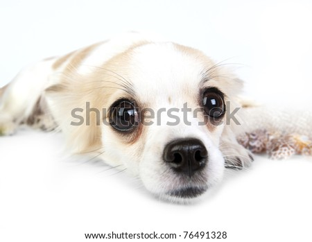 Incredible chihuahua eyes close-up, Chihuahua dog lying down on white background - stock photo
