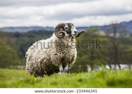 Incredible scottish sheep - long hair and mighty horns, Scotland  - stock photo
